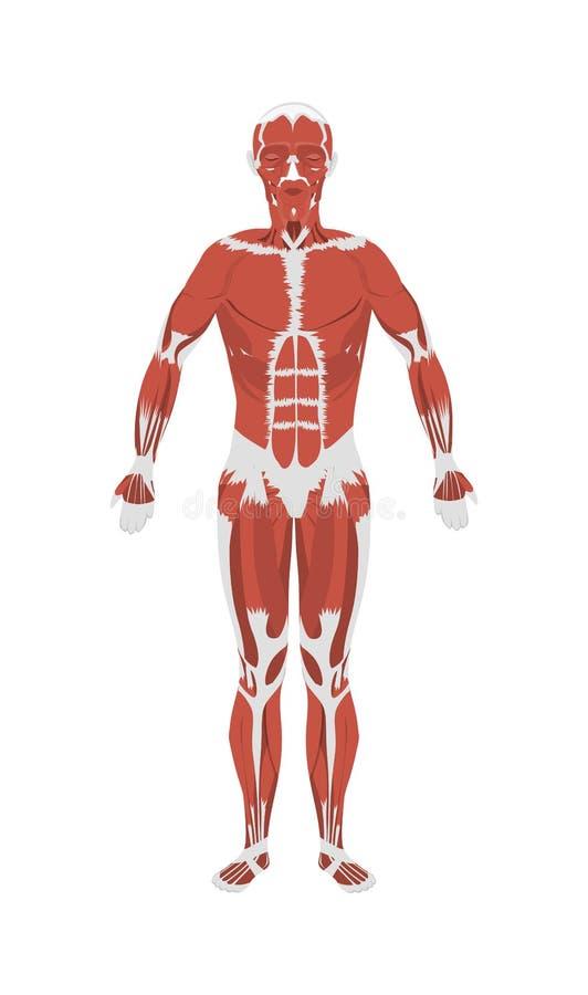 Menselijke spierenanatomie royalty-vrije illustratie