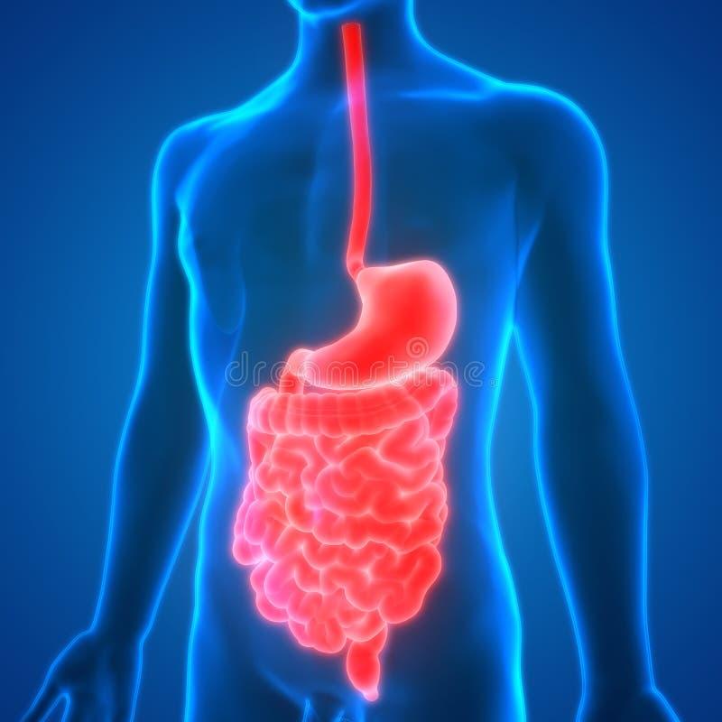 Menselijke Spijsverteringssysteemanatomie stock illustratie