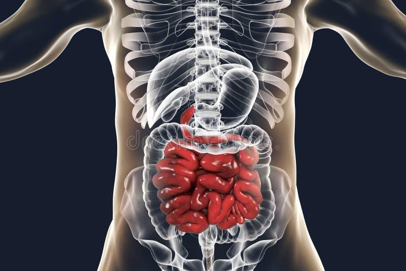 Menselijke spijsverteringssysteemanatomie met highlig, 3D illustratie stock illustratie