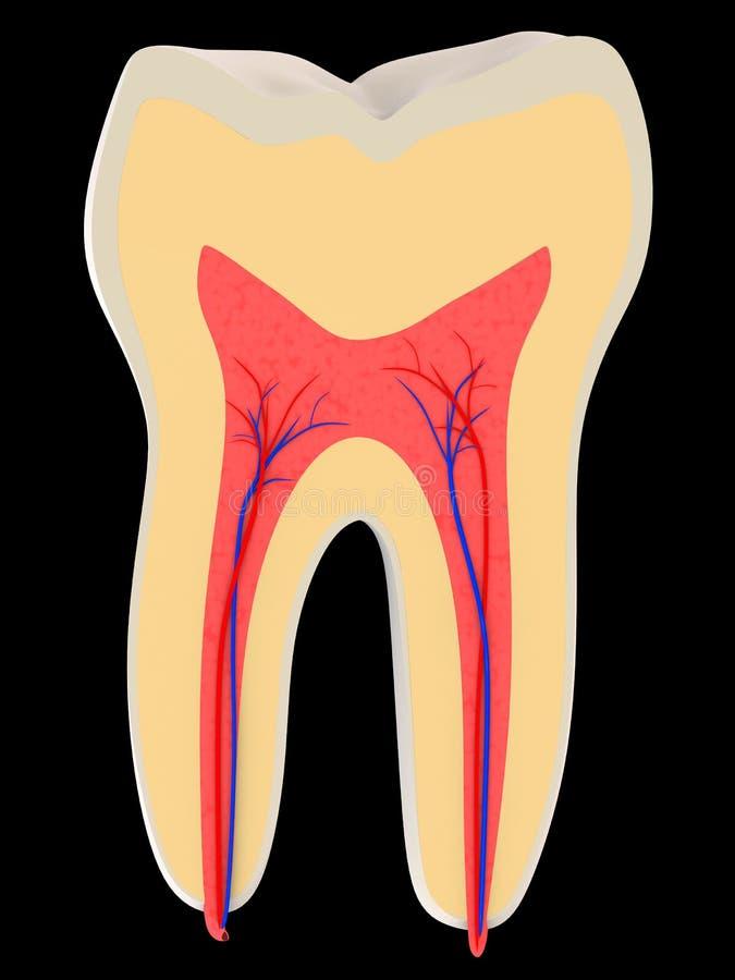 Menselijke tand royalty-vrije illustratie