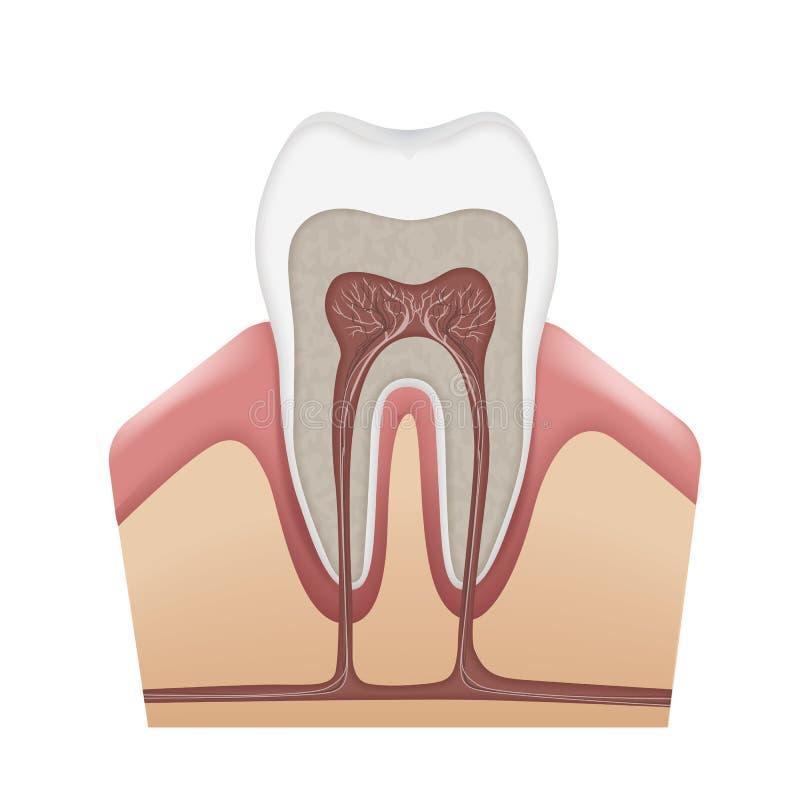 Menselijke tandstructuur royalty-vrije illustratie