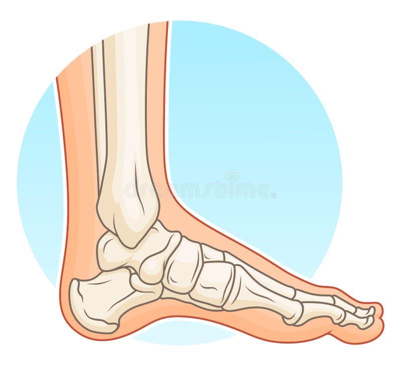 Menselijke voet met beenderen royalty-vrije illustratie