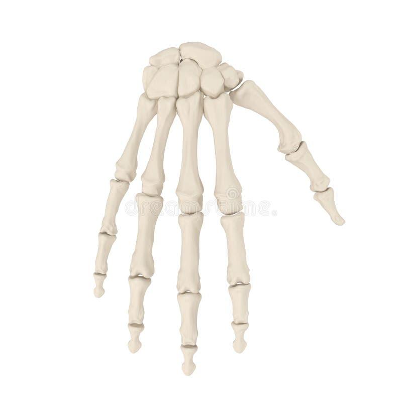 Menselijke Wapenbeenderen op wit 3D Illustratie stock foto's