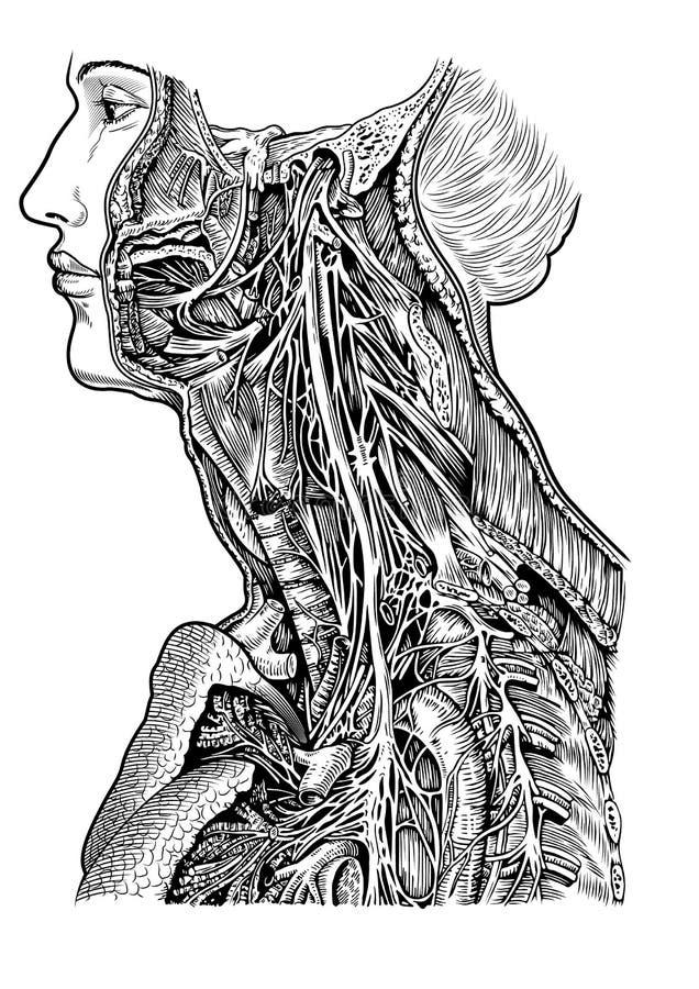 Menselijke zenuwregeling royalty-vrije illustratie