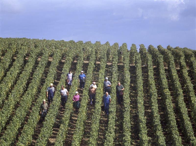 Mensen die blauwe druiven in Frankrijk oogsten stock afbeelding