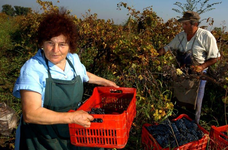 Mensen die druiven in Plovdiv plukken royalty-vrije stock foto