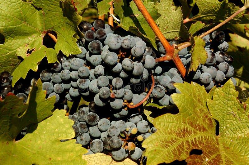 Mensen die druiven in Plovdiv plukken royalty-vrije stock afbeeldingen