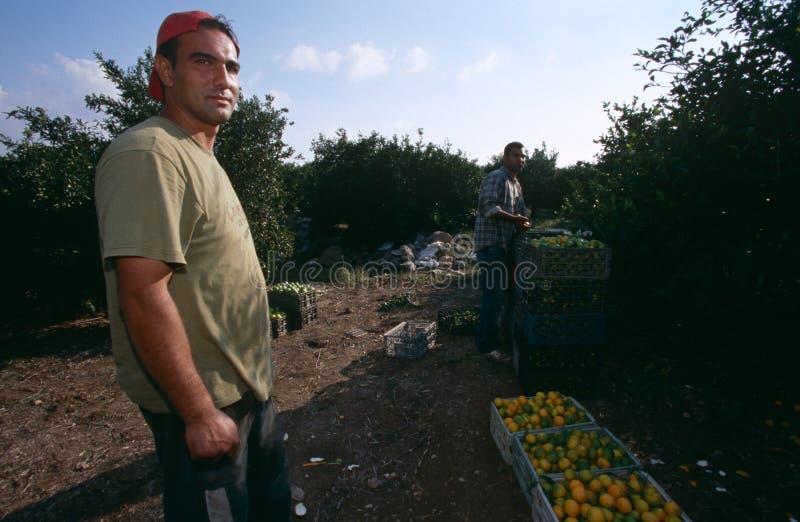 Mensen die in een oranje bosje, Palestina werken royalty-vrije stock afbeeldingen