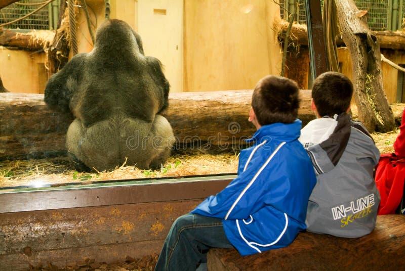 Mensen die gorilla's in de Dierentuin Zürich op Zwitserland waarnemen stock foto's