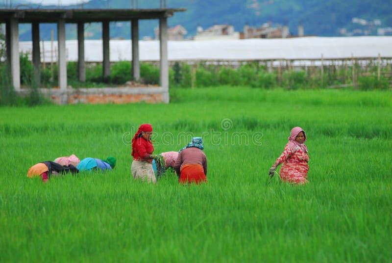 Mensen die in het padieveld werken stock afbeelding