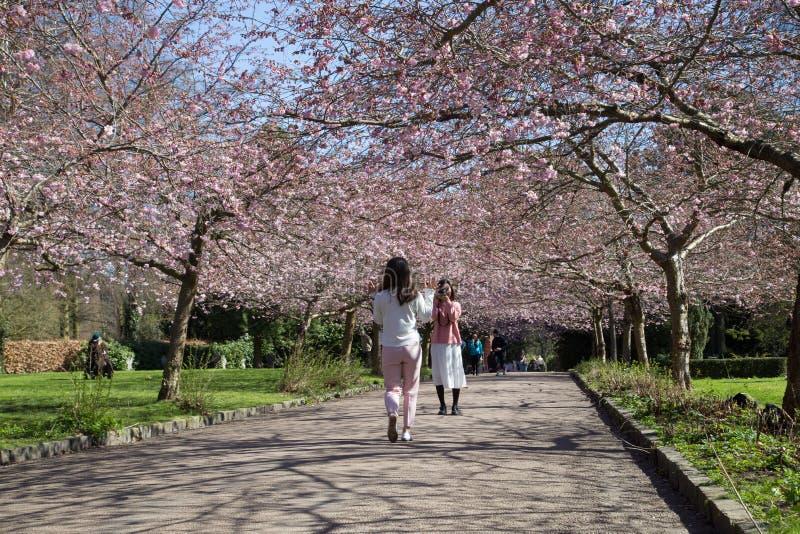 Mensen die kersen van bloesems op Bispebjerg-kerkhof genieten stock foto's