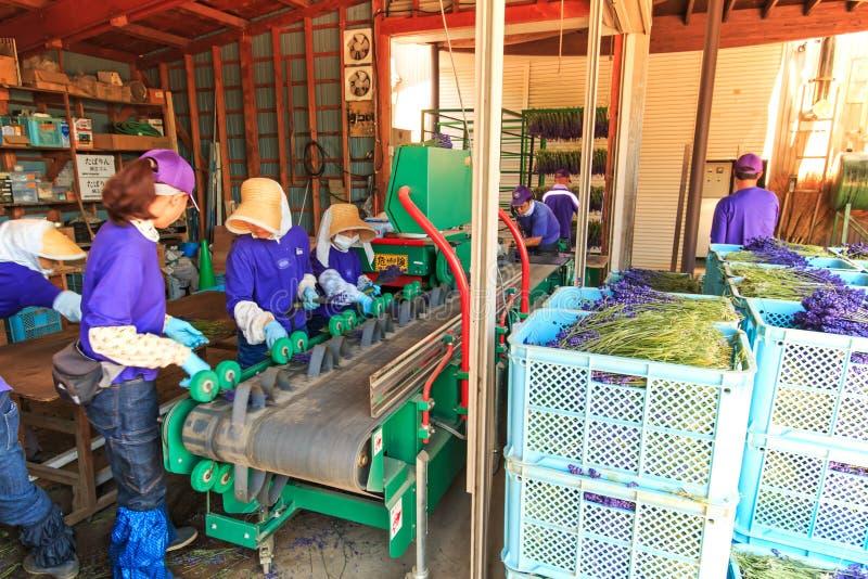 Mensen die lavendel van het Tomita-Landbouwbedrijf in Hokkaido verwerken royalty-vrije stock afbeelding