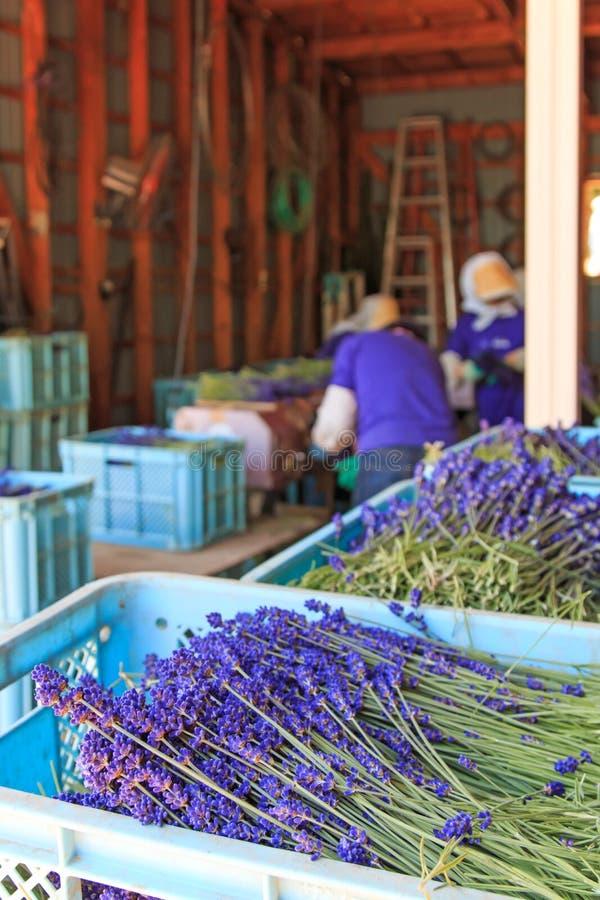 Mensen die lavendel van het Tomita-Landbouwbedrijf in Hokkaido verwerken royalty-vrije stock foto's