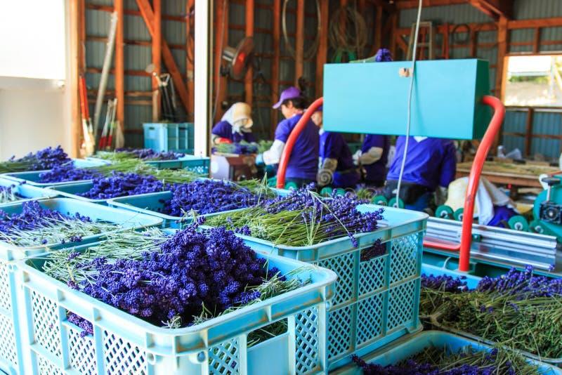 Mensen die lavendel van het Tomita-Landbouwbedrijf in Hokkaido verwerken royalty-vrije stock afbeeldingen