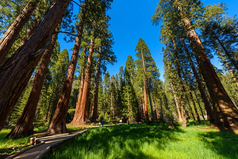 Mensen die op de Grote Bomensleep lopen in Sequoia Nationaal Park waar de grootste bomen van de wereld, Californi? zijn De V.S. royalty-vrije stock foto's