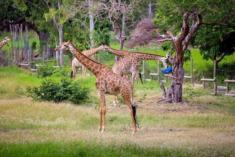 Mensen die van giraffen in wild dierlijk safaripark genieten stock afbeeldingen