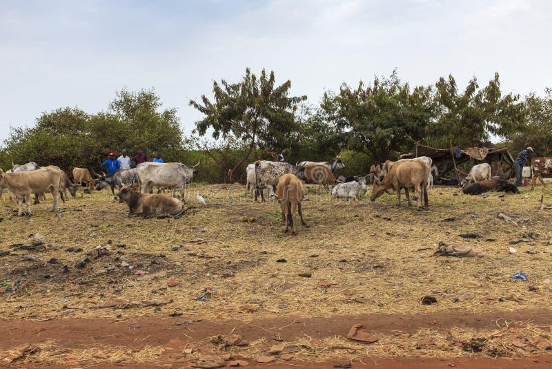 Mensen die vee op de rand van de stad van Bissau, in Guinea-Bissau verkopen stock afbeelding