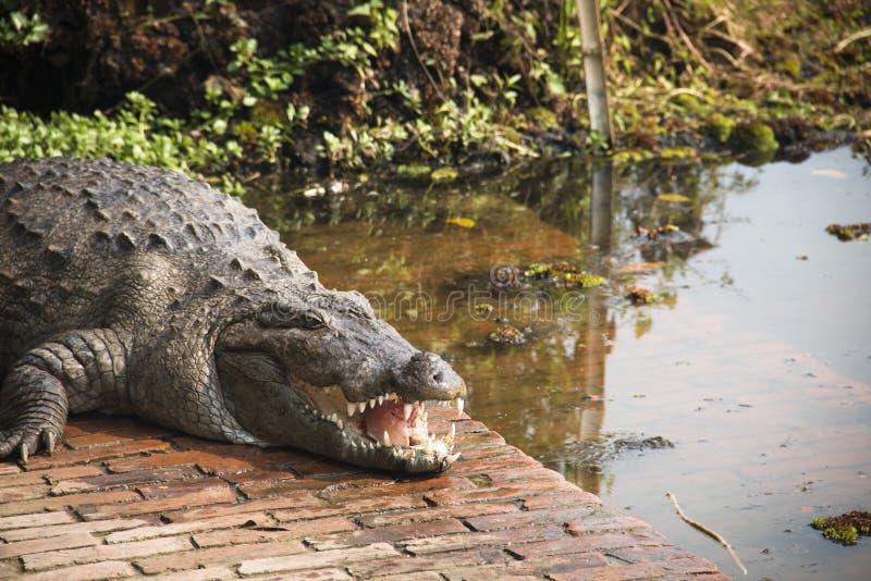 Mensen met krokodil bij de Grafmoskee in bagerhat, Bangladesh stock afbeeldingen