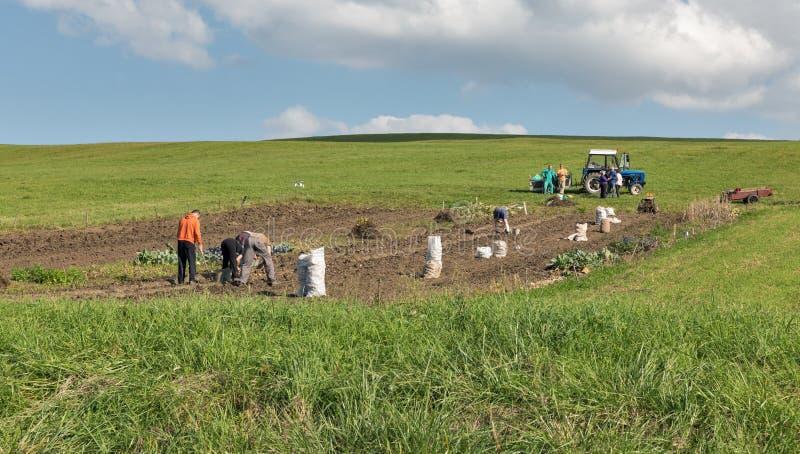 Mensen op de gebied het oogsten aardappels in Liptovsky Trnovec, Slowakije stock afbeeldingen