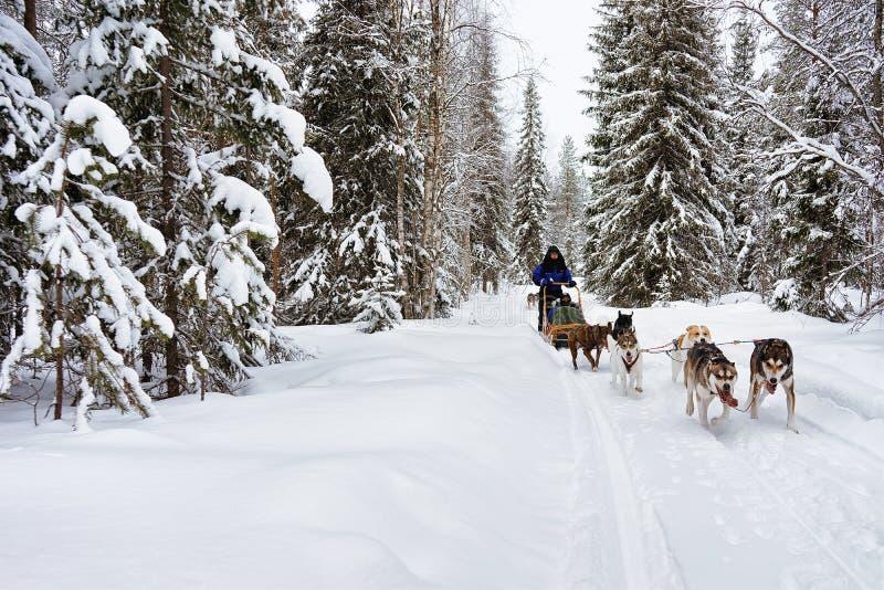 Mensen op Schor hondenar in de winter bos Noordelijk Finland stock afbeelding