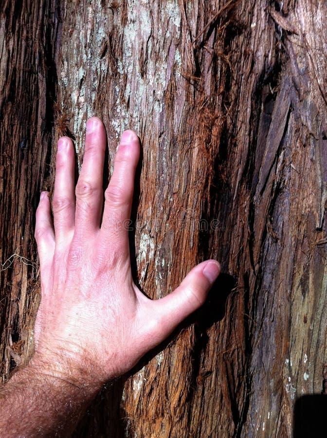 Mensen` s Hand wat betreft Californische sequoiaboom royalty-vrije stock afbeeldingen