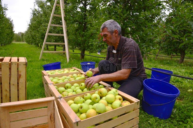 Mensen sorterende appelen in de boomgaard in Resen, Macedonië stock afbeeldingen