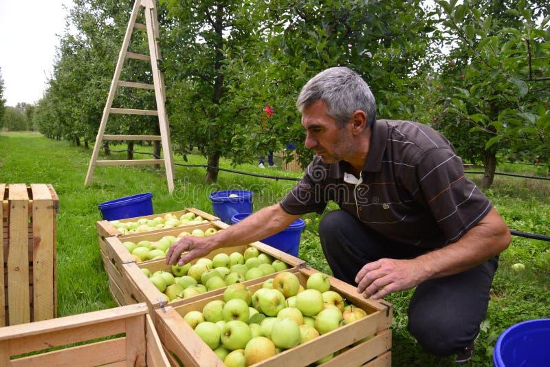 Mensen sorterende appelen in de boomgaard in Resen, Macedonië stock foto