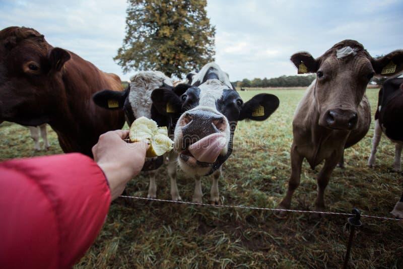 Mensen voedende koeien in landbouwbedrijf stock foto