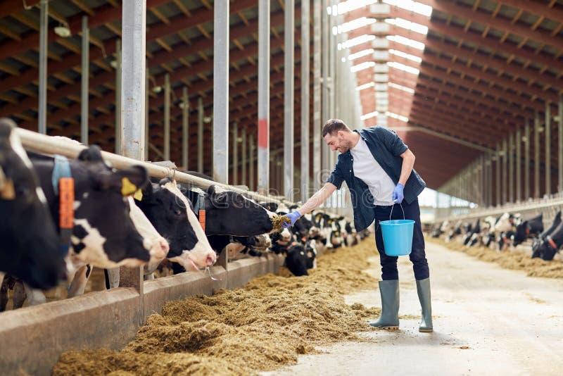 Mensen voedende koeien met hooi in koeiestal op melkveehouderij royalty-vrije stock afbeelding