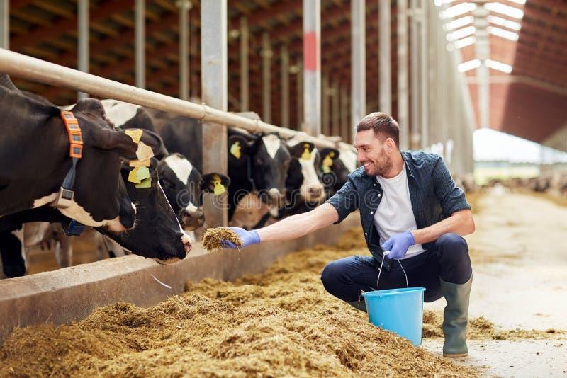 Mensen voedende koeien met hooi in koeiestal op melkveehouderij stock fotografie