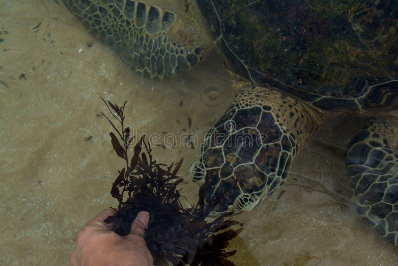 Mensen voedende schildpad met het overzeese onkruid bij het strand stock afbeeldingen