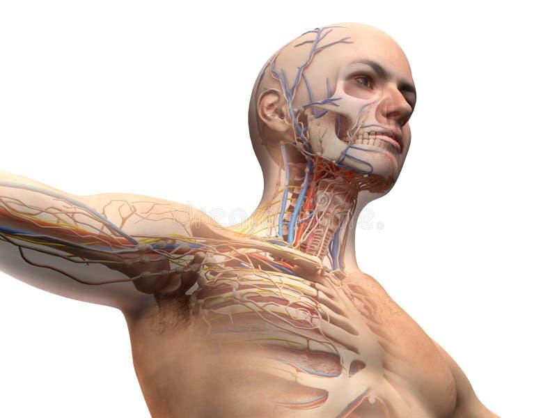 Mensenhoofd en het diagram van de borstanatomie met spookeffect royalty-vrije illustratie
