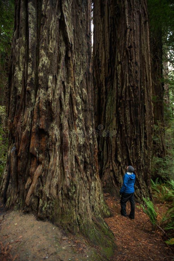 Mensenstarende blikken omhoog bij reuzecalifornische sequoiabomen royalty-vrije stock afbeeldingen