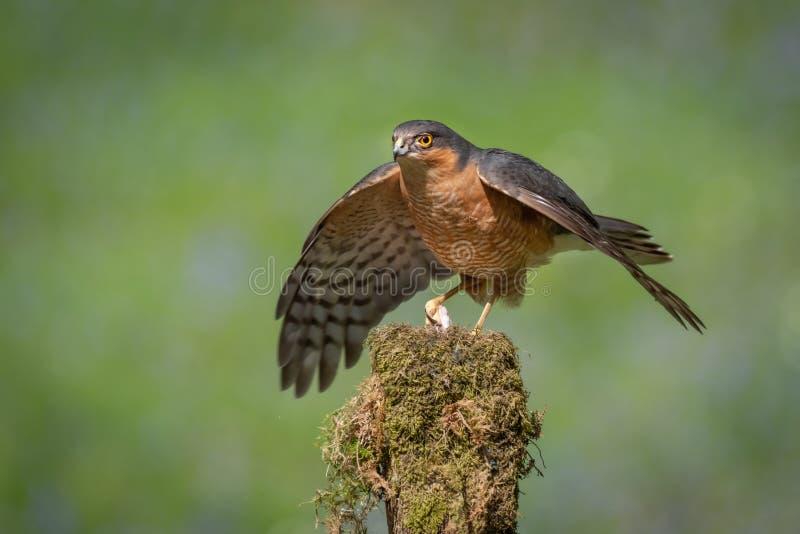 Mensole del camino di Sparrowhawk sopra la sua preda immagine stock