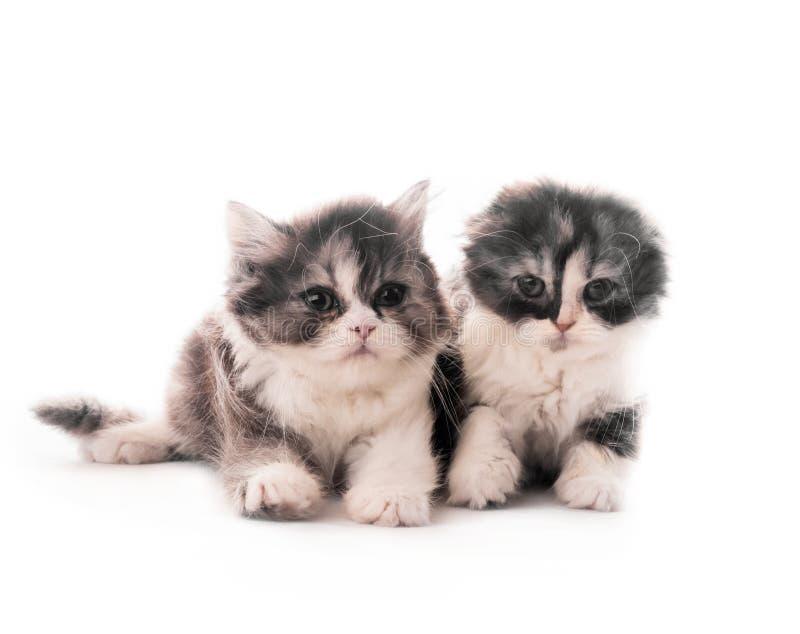 Mensonge ?cossais mignon de deux chatons de race d'isolement photo stock