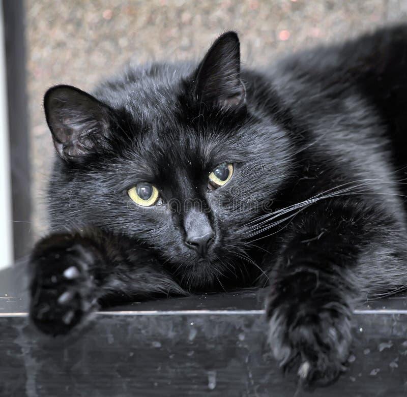 Mensonge bien nourri de chat noir photographie stock