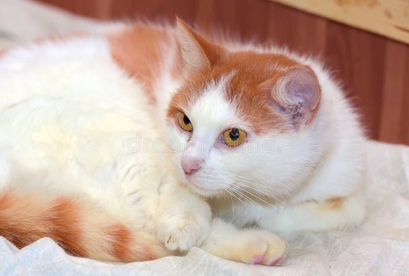 mensonge blanc roux de chat courbé  photos libres de droits