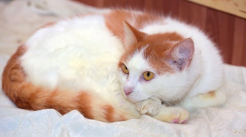 mensonge blanc roux de chat courbé  photo stock