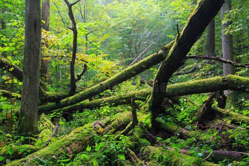 Mensonge cassé vieux par chêne au printemps forêt image libre de droits