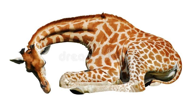 Mensonge d'isolement de giraffe photos stock