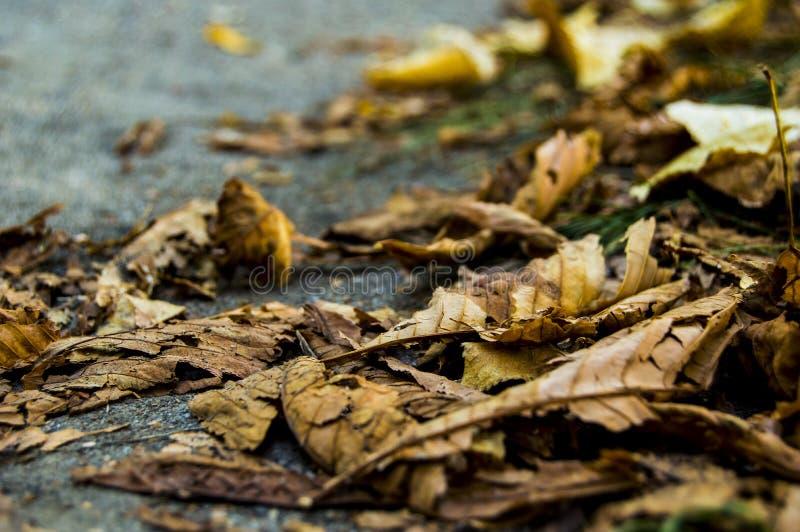Mensonge d'or sec de feuilles d'automne sur l'asphalte en prévision de l'hiver photos stock