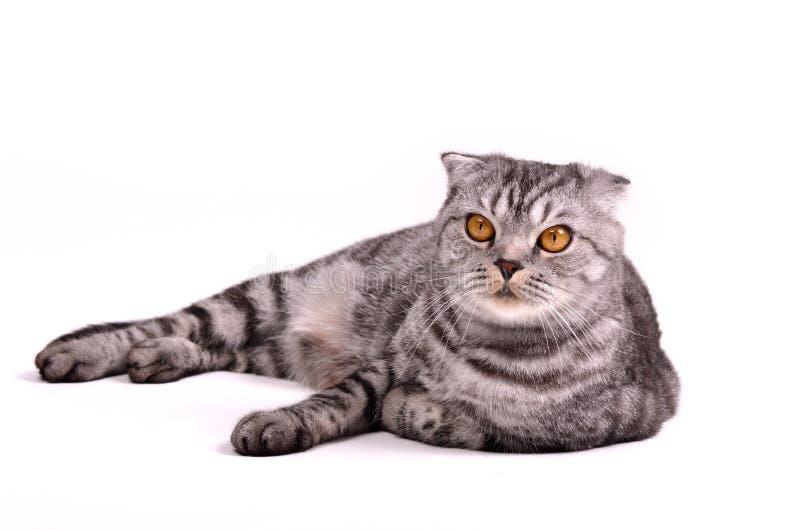 Mensonge de chat de pli d'écossais photo libre de droits