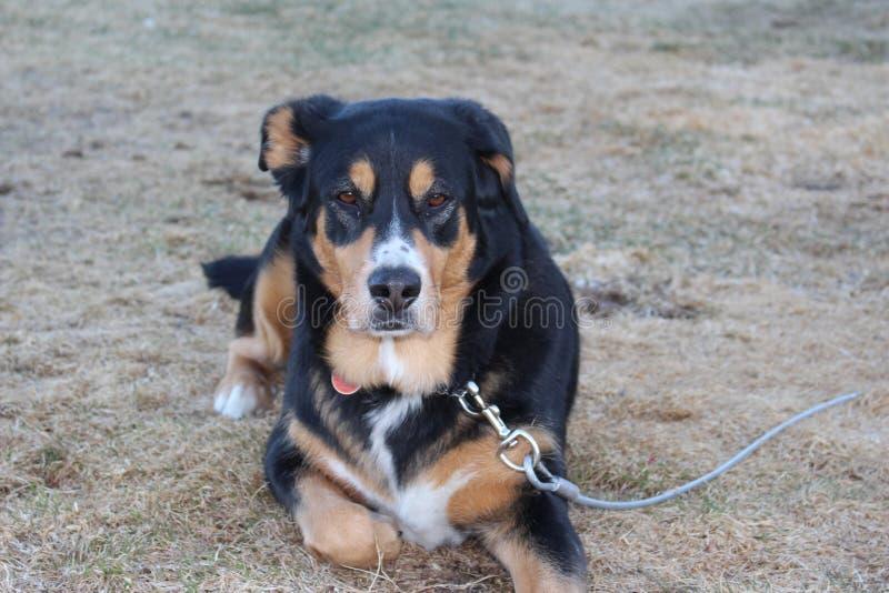 Mensonge de chien photos stock