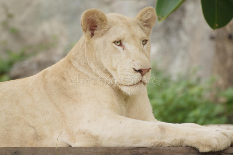 Mensonge de lion albinos de plan rapproché photo libre de droits