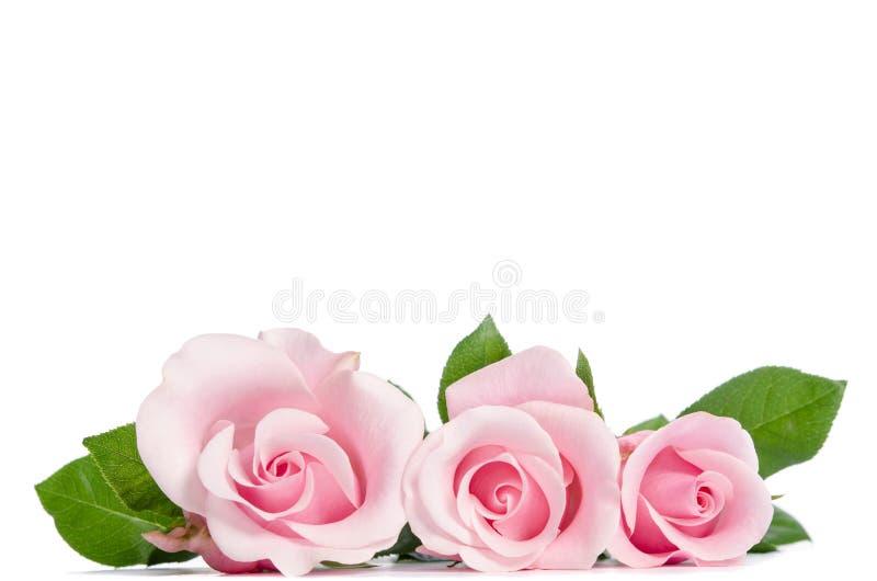 Mensonge de rose de trois roses photographie stock libre de droits