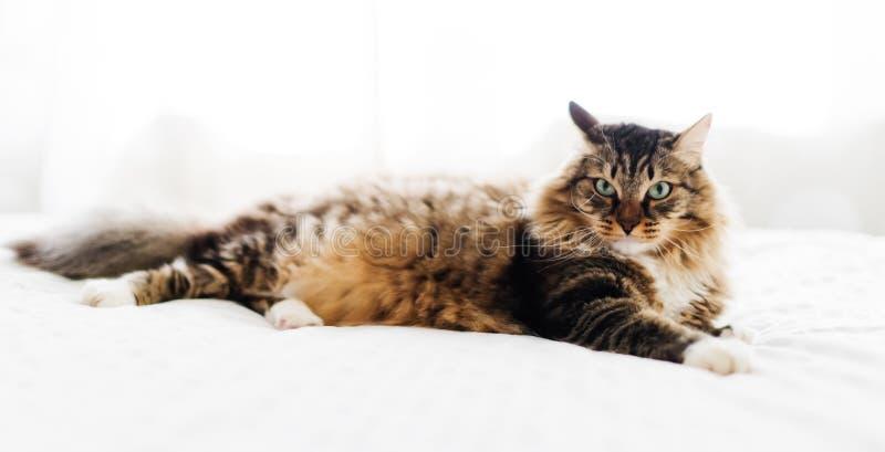 Mensonge gris de chat image libre de droits