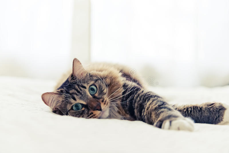 Mensonge gris de chat photographie stock libre de droits