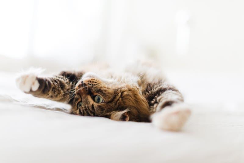 Mensonge gris de chat photographie stock