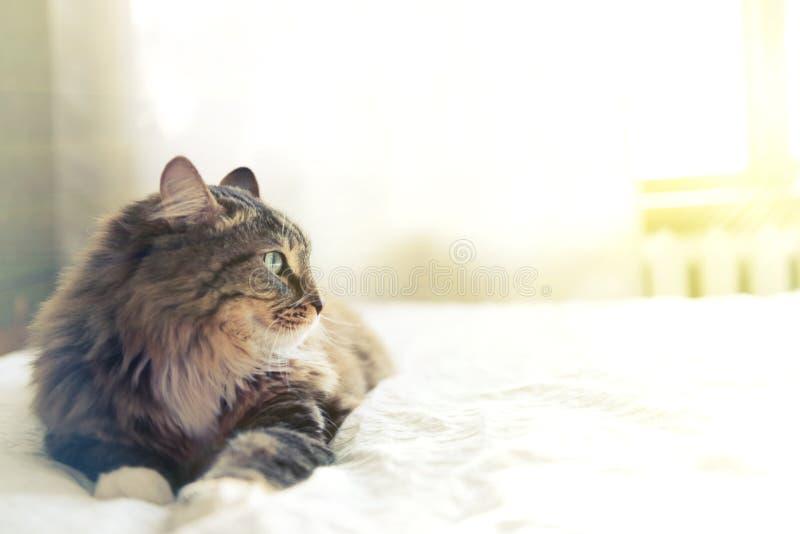 Mensonge gris de chat images libres de droits