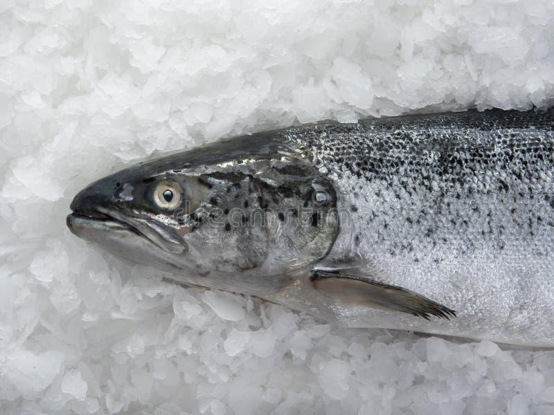Mensonge saumoné de poissons photos libres de droits